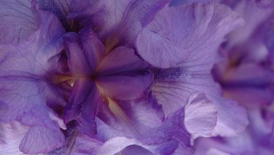 Purple Iris // Photo: Cheryl Spelts