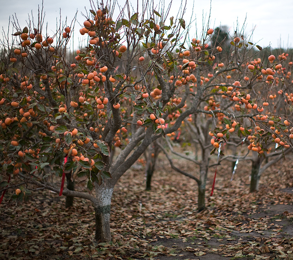 Fallbrook Persimmon Orchard // Photo: Cheryl Spelts