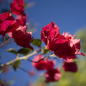 Bougainvillea and Blue Sky // Photo: Cheryl Spelts
