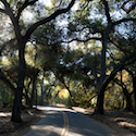 Oak Tree Canopy // Photo: Cheryl Spelts