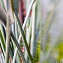 Lensbaby Bird of Paradise Stalks // Photo: Cheryl Spelts