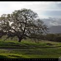 Oak Tree in Fallbrook // Photo: Cheryl Spelts