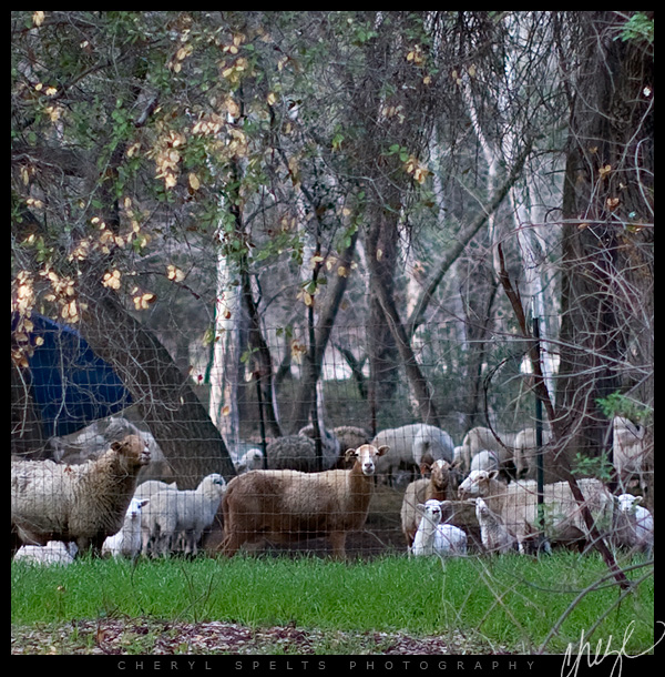 Sheep in De Luz // Photo: Cheryl Spelts
