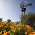 California Poppies & Windmill // Photo: Cheryl Spelts