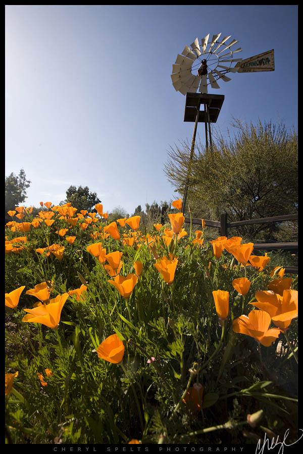 California Poppies & Windmill // Photo: Cheryl Spelts