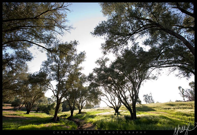 Olive Trees, Fallbrook, California // Photo: Cheryl Spelts