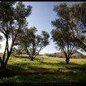 Olive Trees in Fallbrook, California // Photo: Cheryl Spelts