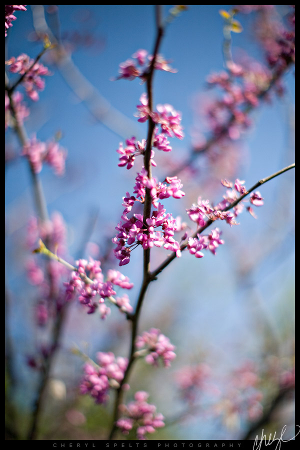 Pink Flowering Tree // Photo: Cheryl Spelts
