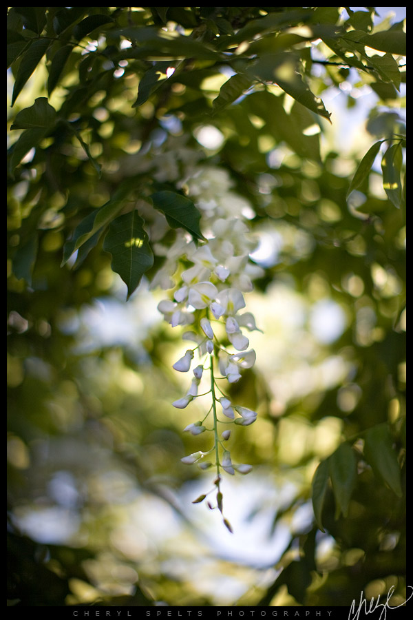 White Wisteria // Photo: Cheryl Spelts