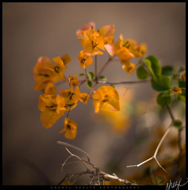 Orange Bougainvillea // Photo: Cheryl Spelts