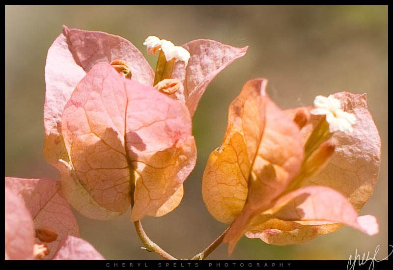 Pale Pink and Orange Bougainvillea // Photo: Cheryl Spelts