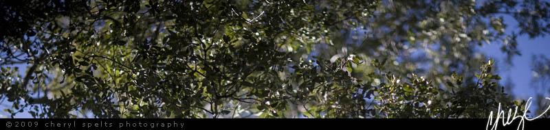 Oak Tree // Photo: Cheryl Spelts