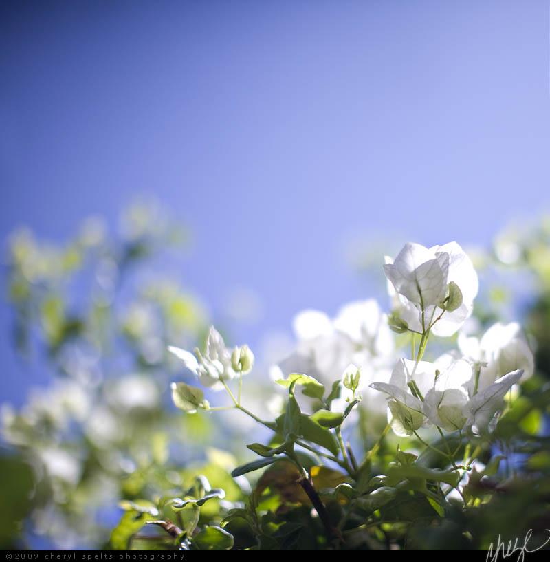 White Bougenvia // Photo: Cheryl Spelts