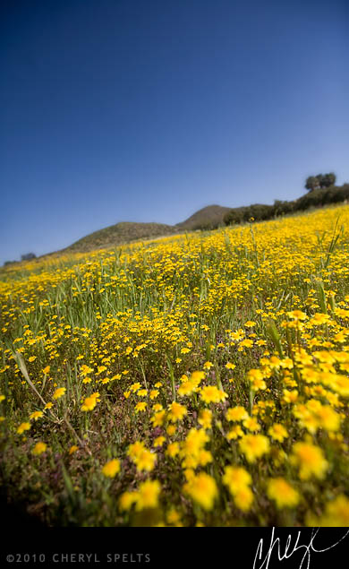 Yellow Wildflowers in Menifee // Photo: Cheryl Spelts