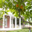 Orange tree on the grounds of the Estudillo Mansion // Photo: Cheryl Spelts