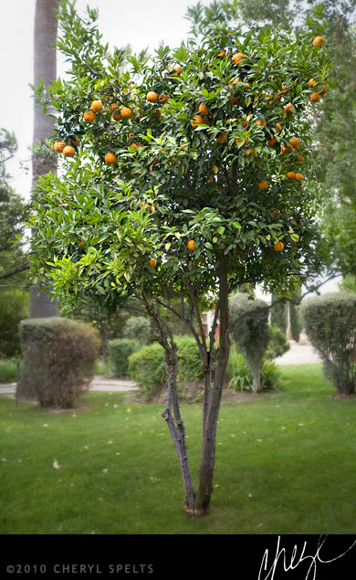 Citrus tree on the grounds of the Estudillo Mansion // Photo: Cheryl Spelts