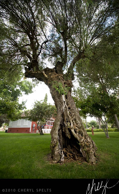 100-year-old Pepper Tree // Photo: Cheryl Spelts