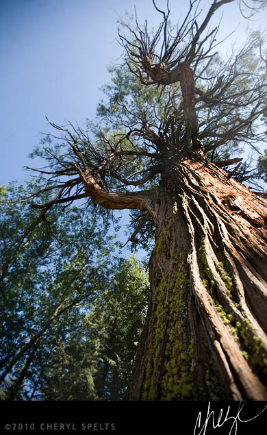 Redwood Tree in Idyllwild