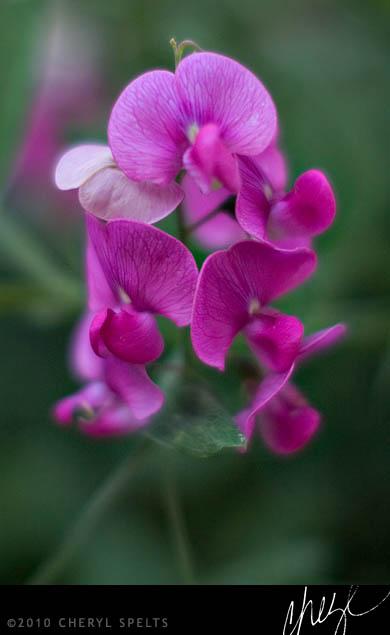 Idyllwild Wildflowers
