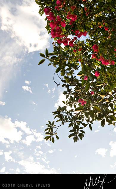 Pink Bougainvillea // Photo: Cheryl Spelts