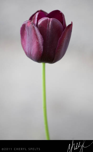 Black Tulip // Photo: Cheryl Spelts