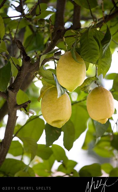 Lemon Tree // Photo: Cheryl Spelts