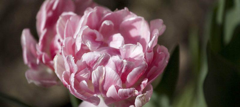Pink Ruffly Tulips // Photo: Cheryl Spelts