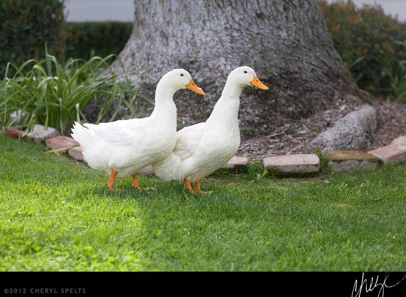 Pair of Ducks // Photo: Cheryl Spelts