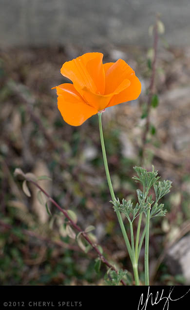 California Poppy // Photo: Cheryl Spelts