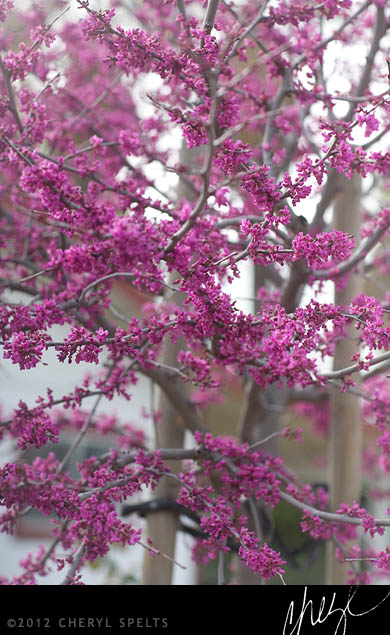 Pink Blooming Tree // Photo: Cheryl Spelts