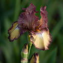 Raspberry Fudge Tall Bearded Iris // Photo: Cheryl Spelts