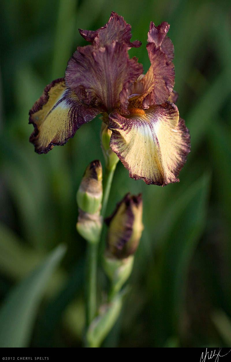Raspberry Fudge Tall Bearded Iris // Photo: Cheryl Spelts