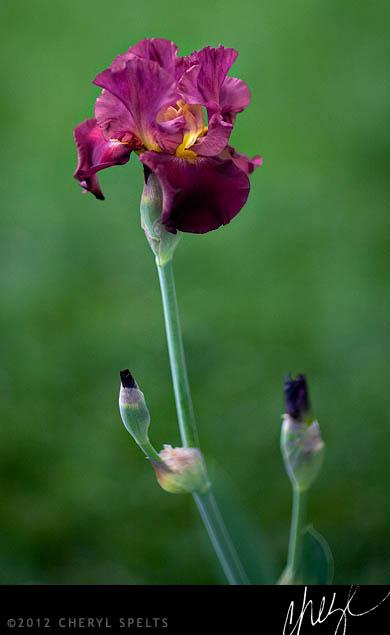 Maroon and Orange Iris // Photo: Cheryl Spelts