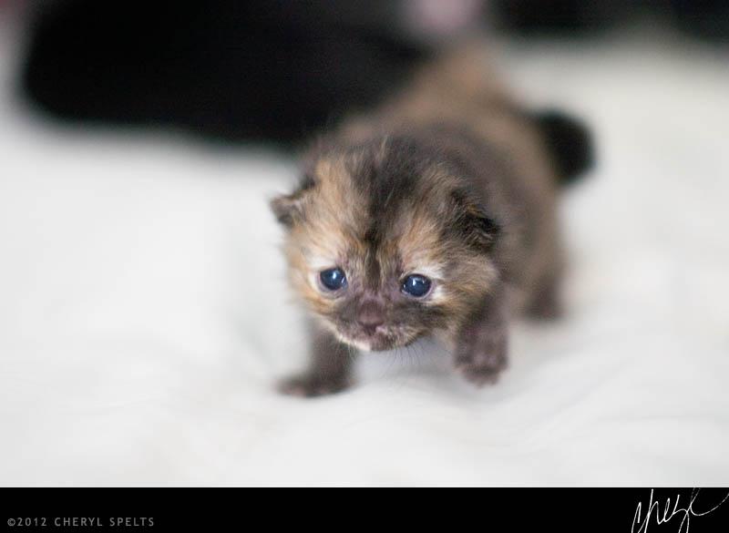 Two Week Old Kitten // Photo: Cheryl Spelts
