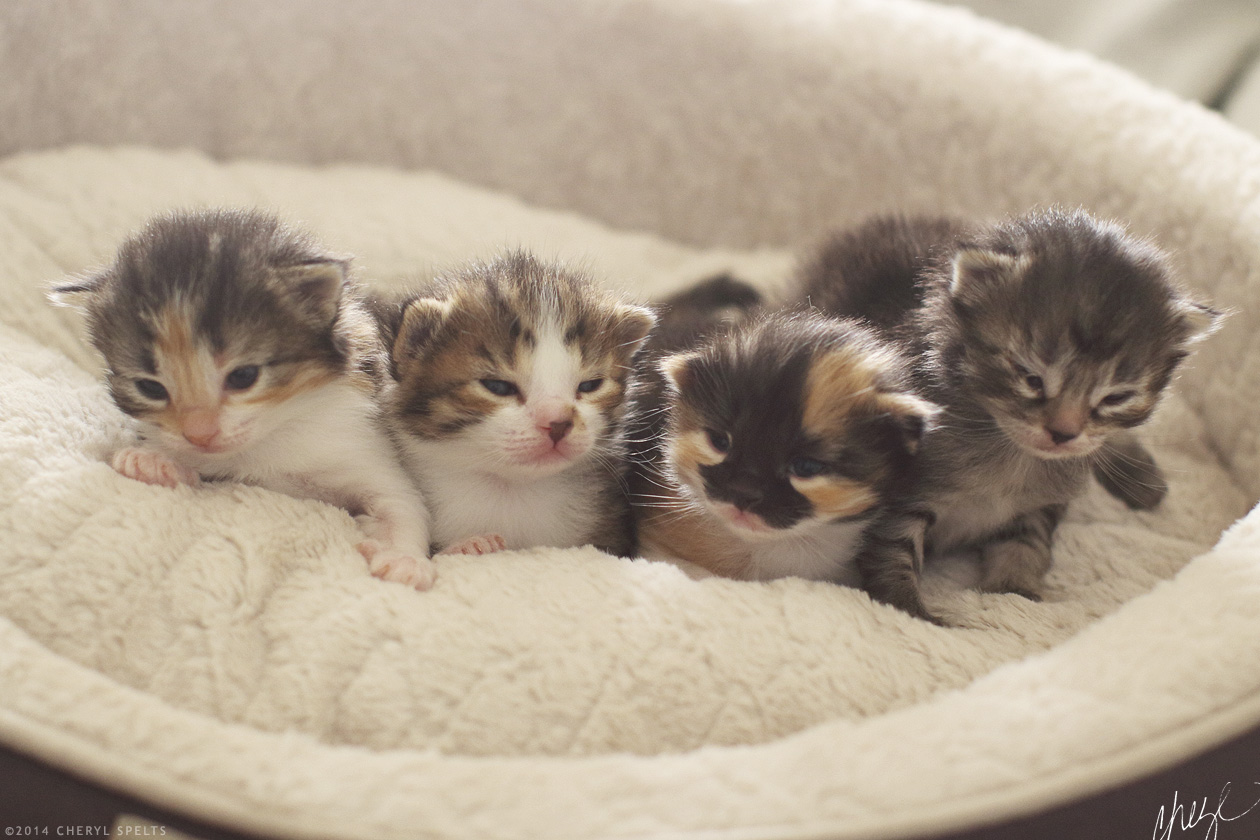 19 Day Old Kittens // Photo: Cheryl Spelts