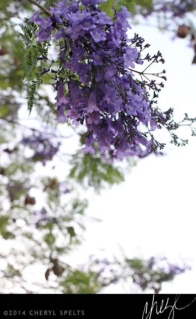 Jacaranda Tree in Bloom // Photo: Cheryl Spelts