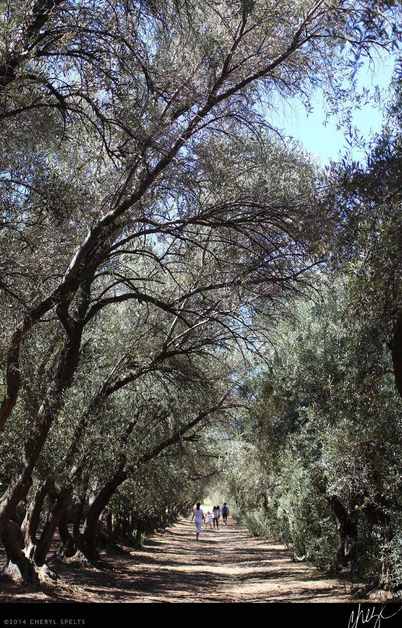 Olive Trees // Photo: Cheryl Spelts