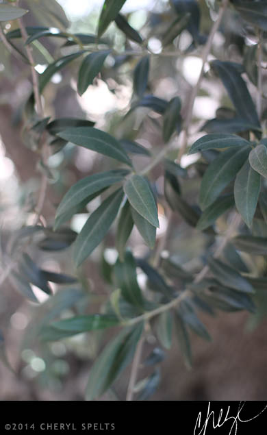 Olive Tree Leaves // Photo: Cheryl Spelts