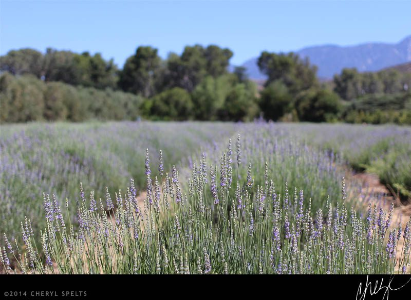 Rows of Lavender at Highland Springs Resort // Photo: Cheryl Spelts