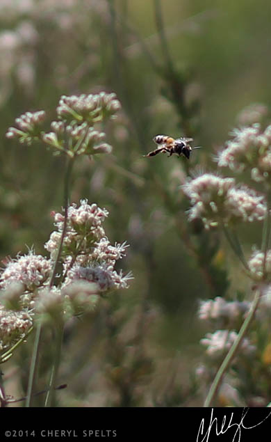 Bee in the Sage Brush // Photo: Cheryl Spelts