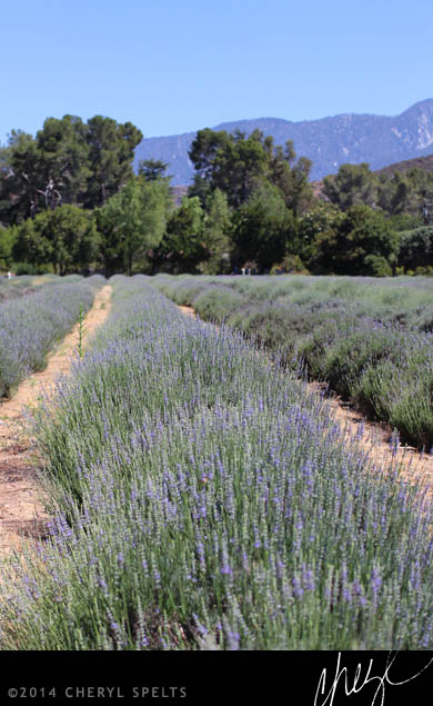 Growing Lavender in Southern California // Photo: Cheryl Spelts