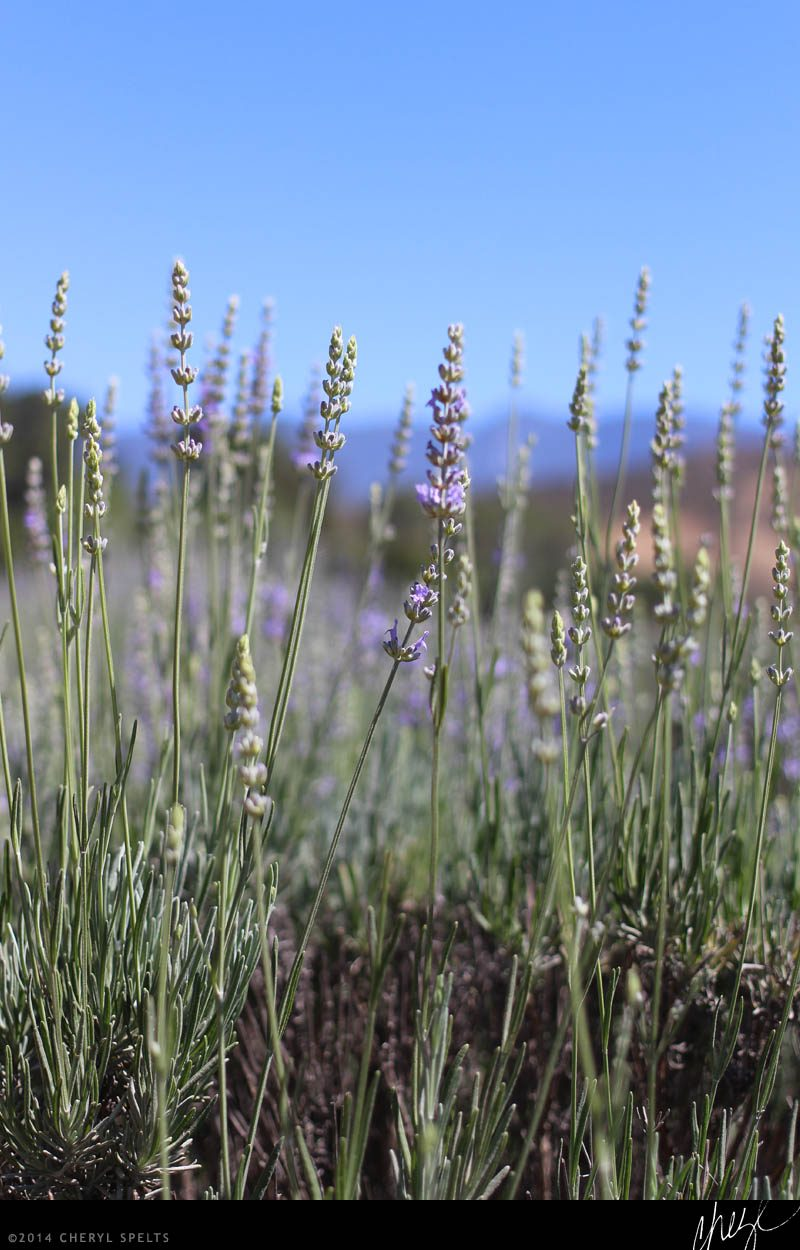 Southern California Lavender Farm // Photo: Cheryl Spelts