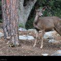 Deer in Idyllwild // Photo: Cheryl Spelts