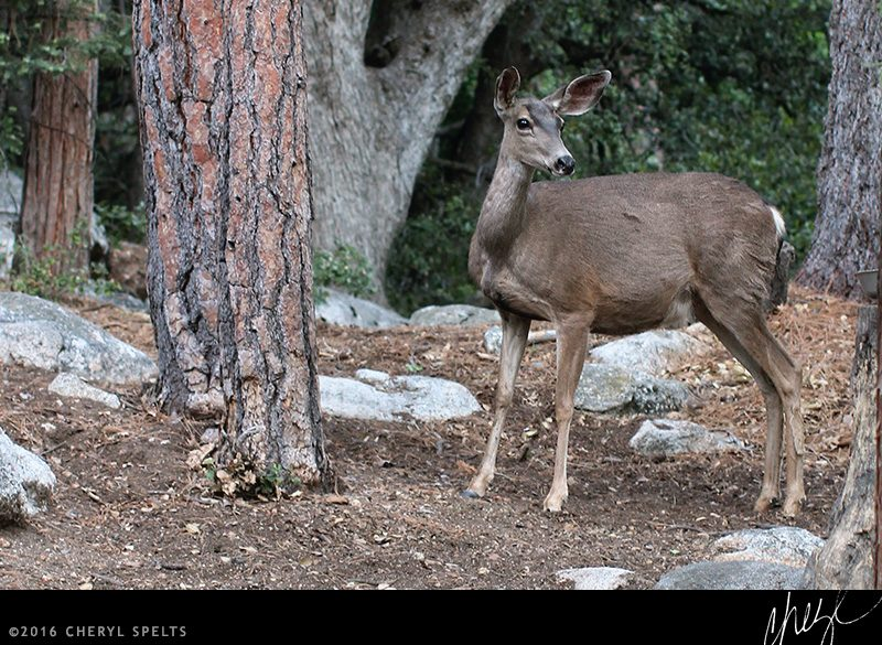 Deer in Idyllwild // Photo: Cheryl Spelts