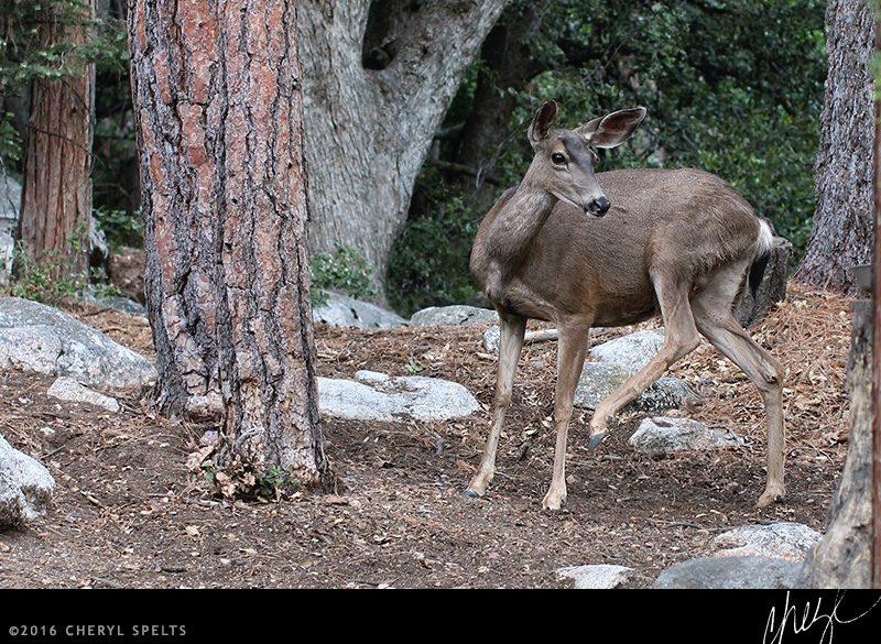 Pregnant deer // Photo: Cheryl Spelts