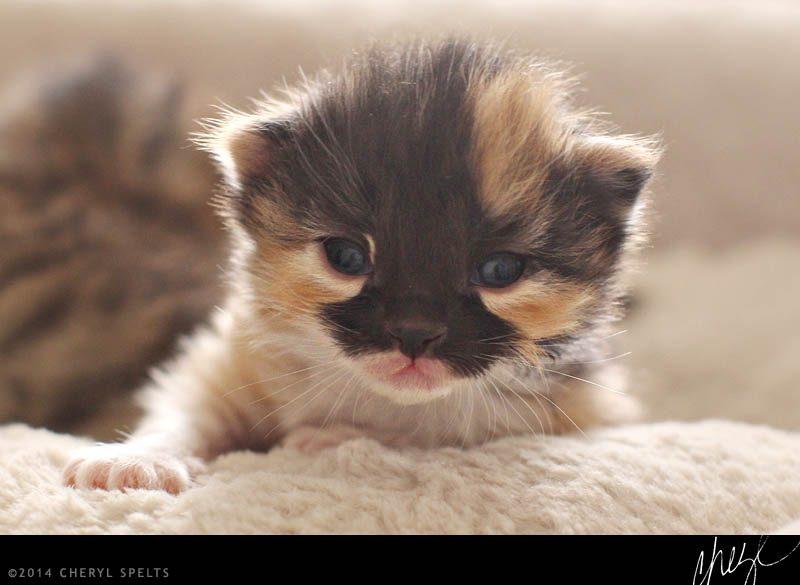 19 Day Old Calico Kitten // Photo: Cheryl Spelts